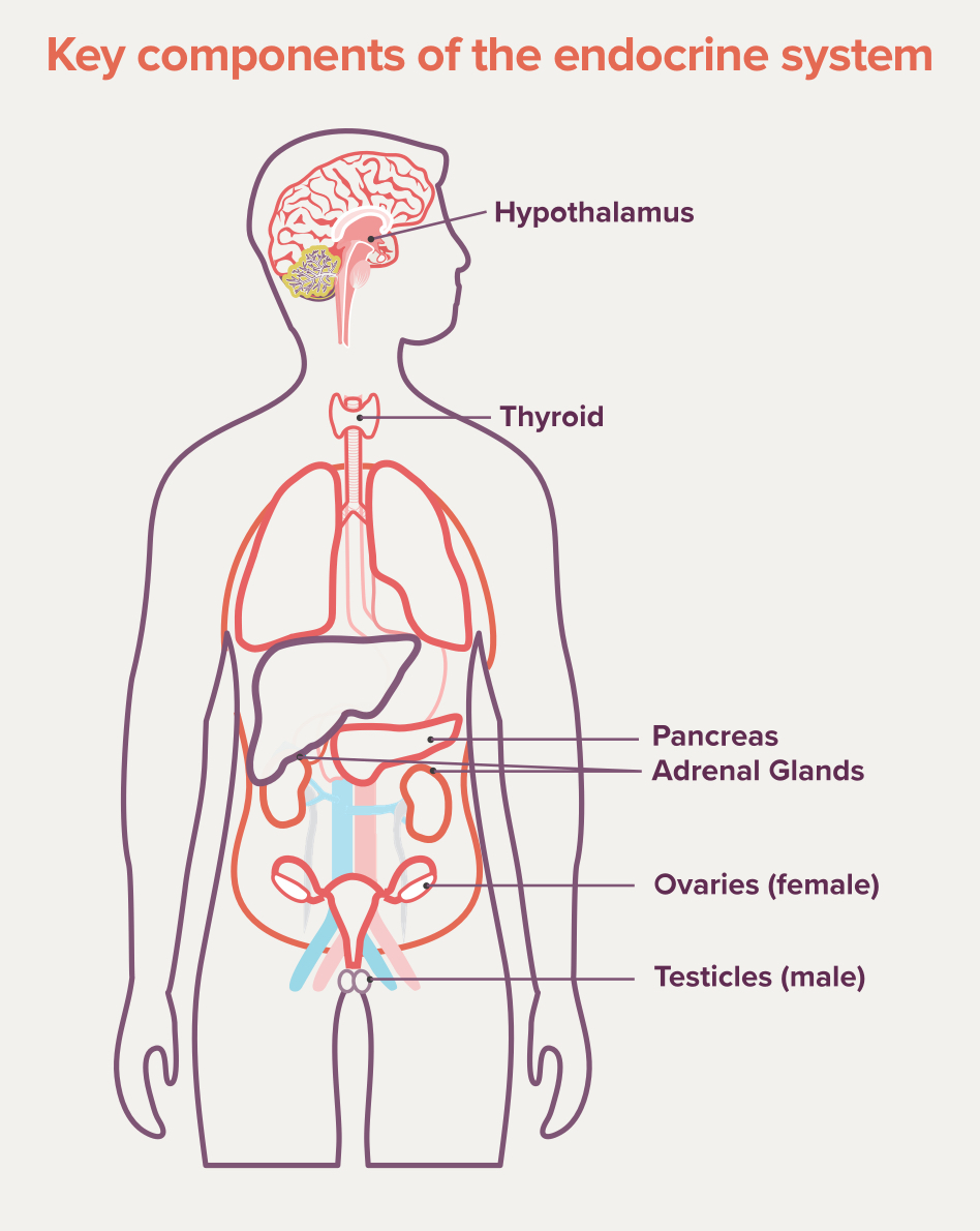 Key components of the endocrine system that pertain to POMC deficiency obesity