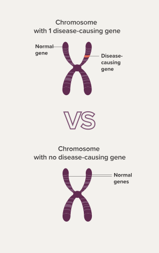 Two chromosomes that show the difference between inheriting two copies of a gene and inheriting one copy